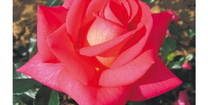 Reflet de Saint Malo rosier buisson