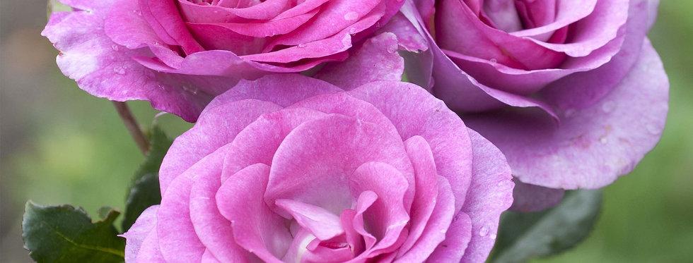Violette Parfumée rosier buisson