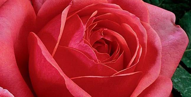 Sir Lancelot rosier buisson