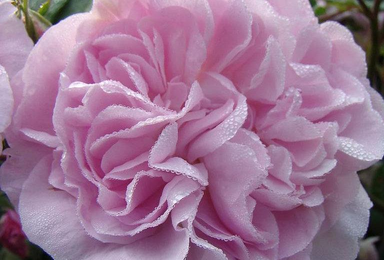 Fantin Latour rosier ancien