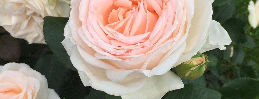Gruaud Larose rosier buisson
