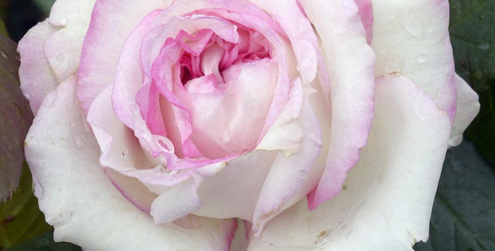 Moonstar rosier buisson