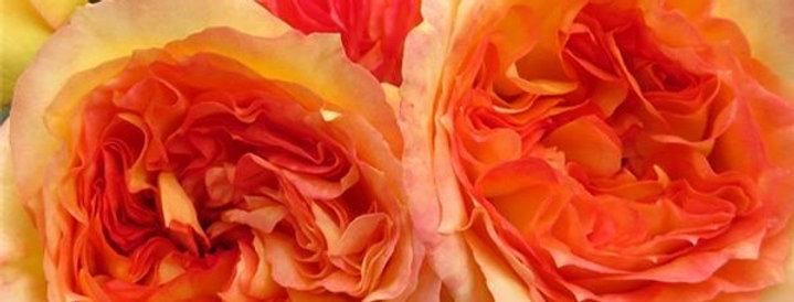 Henri Delbard rosier buisson