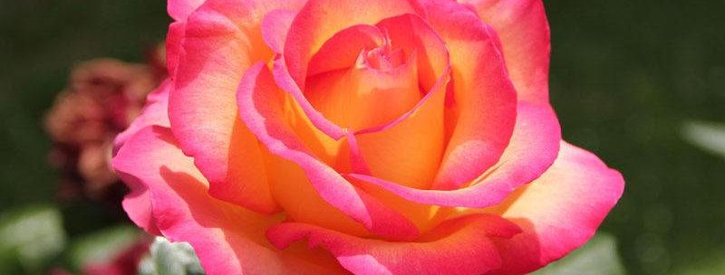 Jean Piat rosier buisson