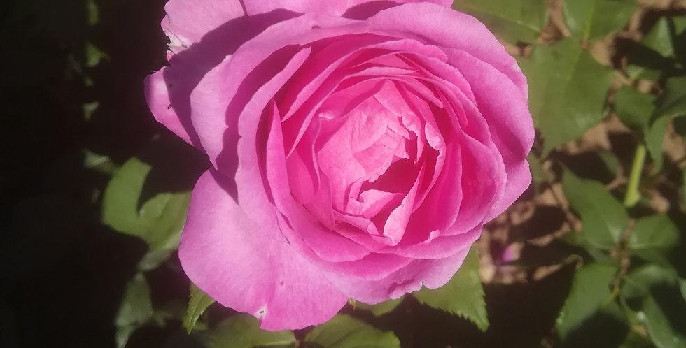 Catherine de Medicis rosier buisson