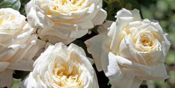 Ariane de Rotchild rosier buisson