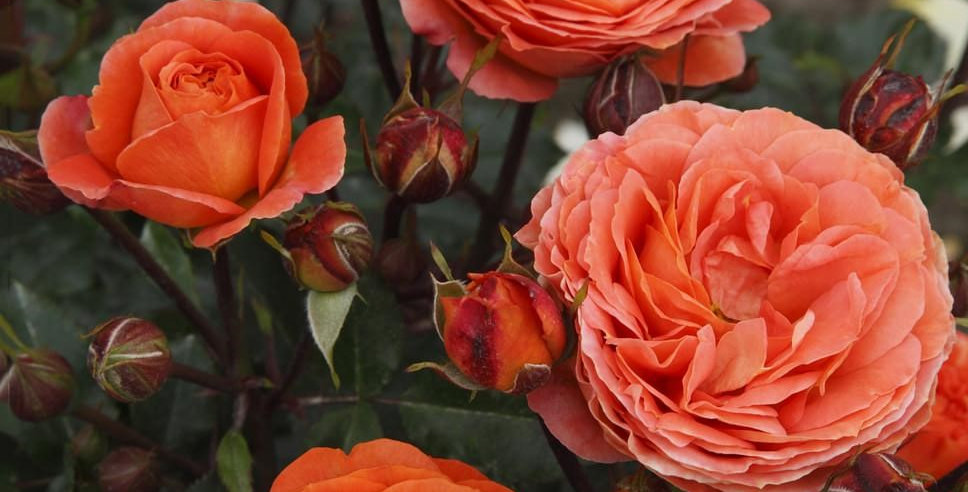 Phénix rosier buisson