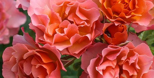 Jean Cocteau rosier buisson