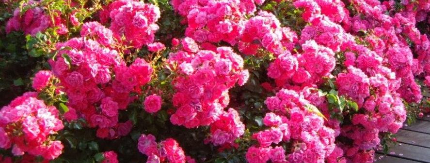 Eméra rosier buisson