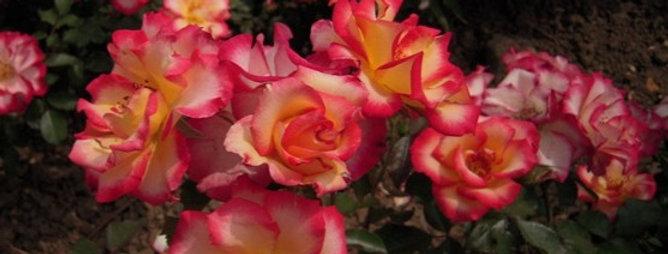 Betty Boop rosier buisson