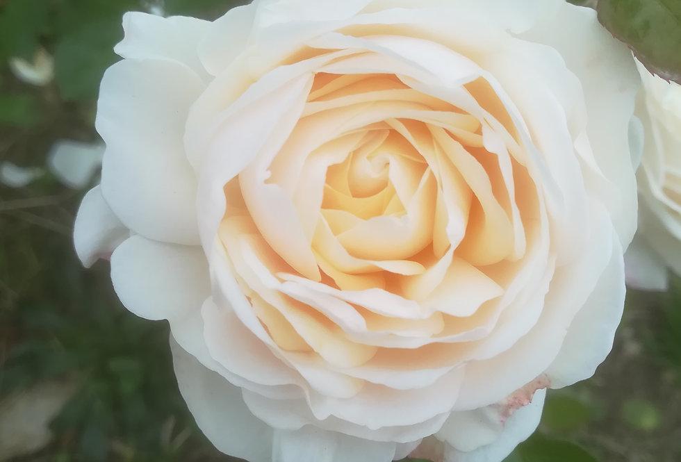 Clair de Lune rosier buisson