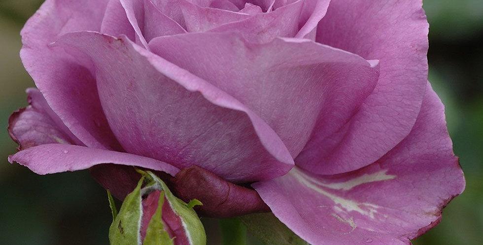 Bossuet Aigle de Meaux rosier buisson