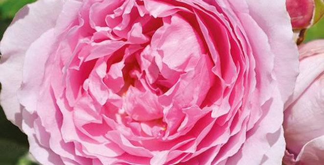 André Eve le Jardinier des Roses rosier buisson