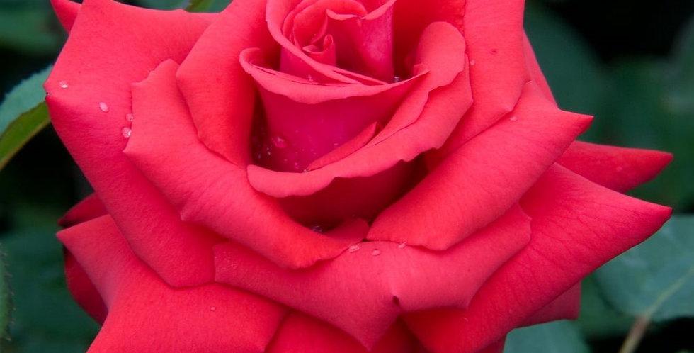 Grande Amore rosier buisson