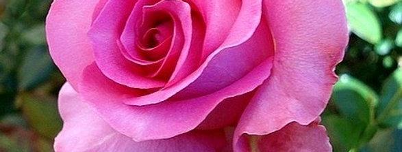 Marie-Ange Nardi rosier buisson