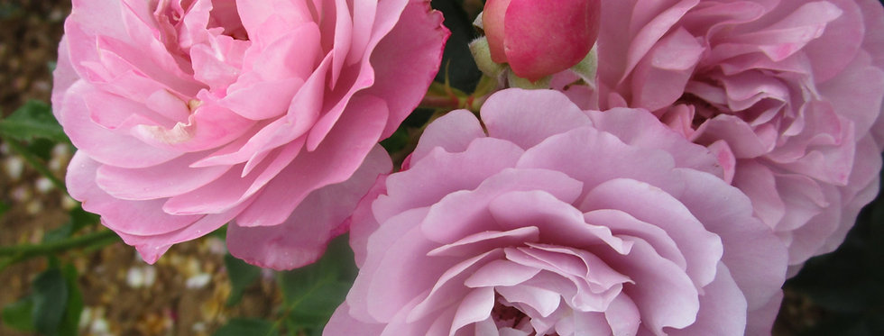 Lady Perfume rosier buisson