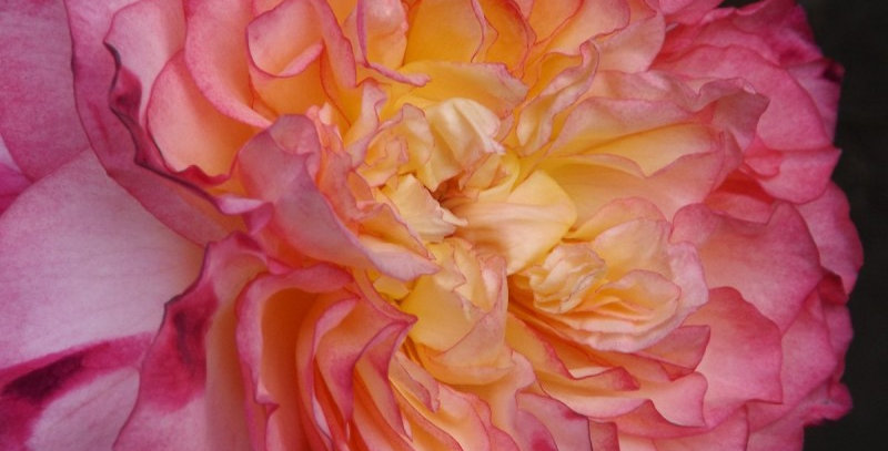 Perle de Cristal des Acordéons Maugéin rosier buisson