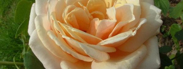 Pastis 49 rosier buisson