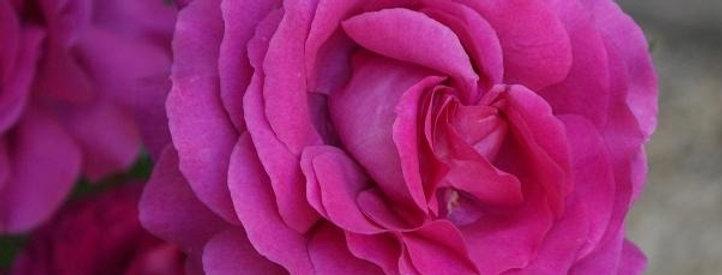 Chartreuse de Parme rosier buisson