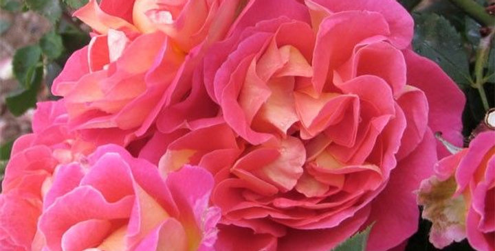Chateau de Verteuil rosier buisson