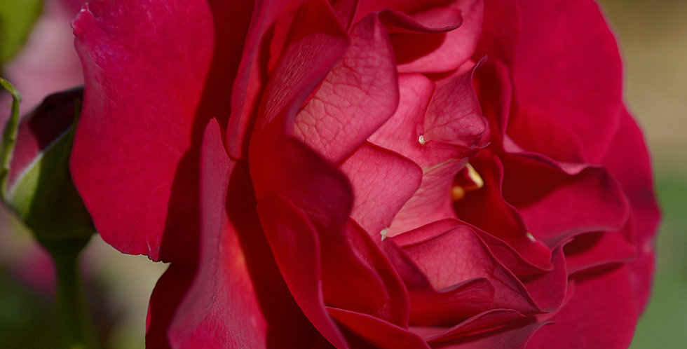 Miss Magenta rosier buisson
