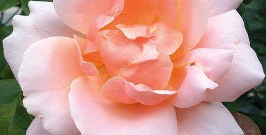Coraline rosier grimpant
