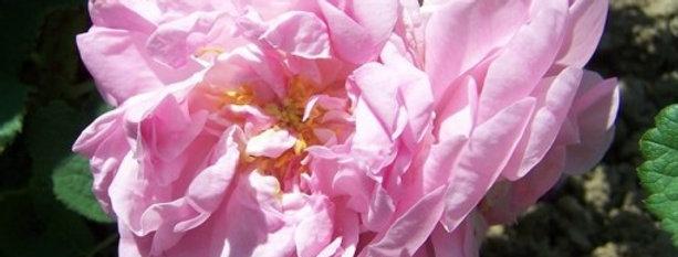 Quatre Saisons Continues (rosa damas bifera) rosier ancien