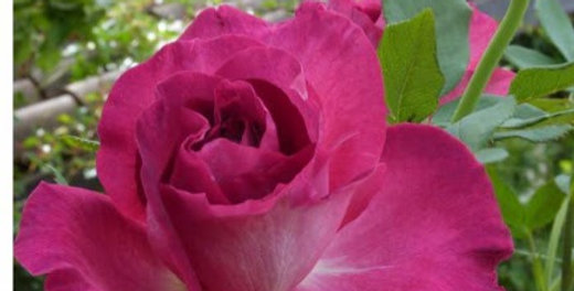 Hot Pink rosier buisson