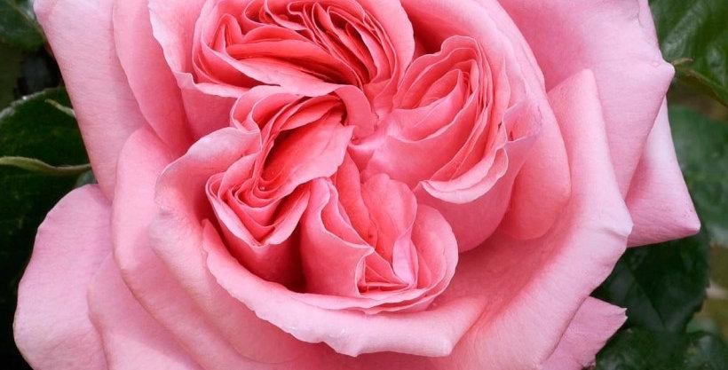 Spécial Anniversaire rosier buisson