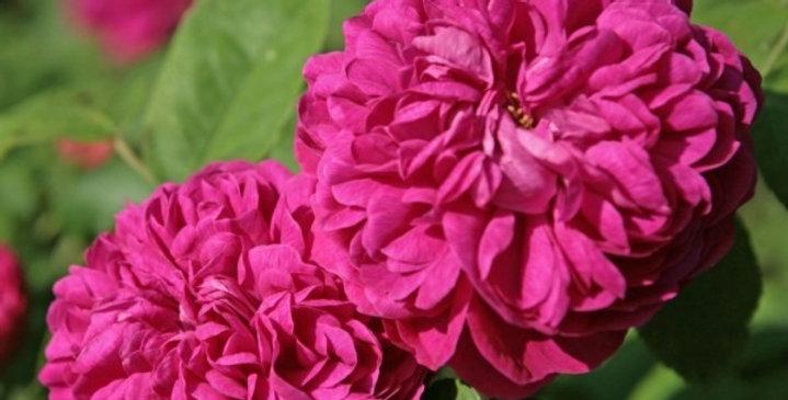 Rose de Rescht rosier ancien