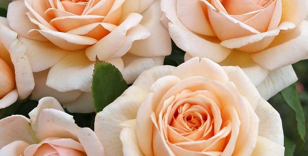 Courage de Kordes rosier buisson