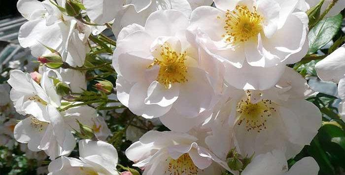 Sourire d'Orchidée rosier grimpant