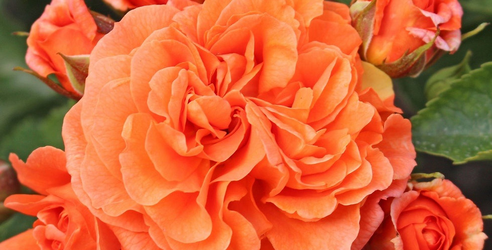 Orangerie rosier buisson
