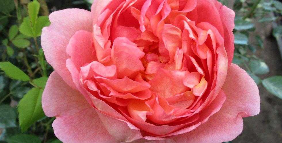 Boscobel rosier anglais