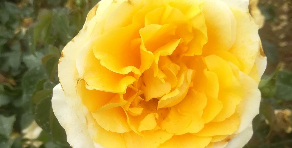 Sunny Sky rosier buisson