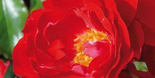 Moraya rouge rosier buisson