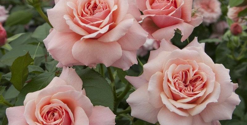 Botticelli rosier buisson