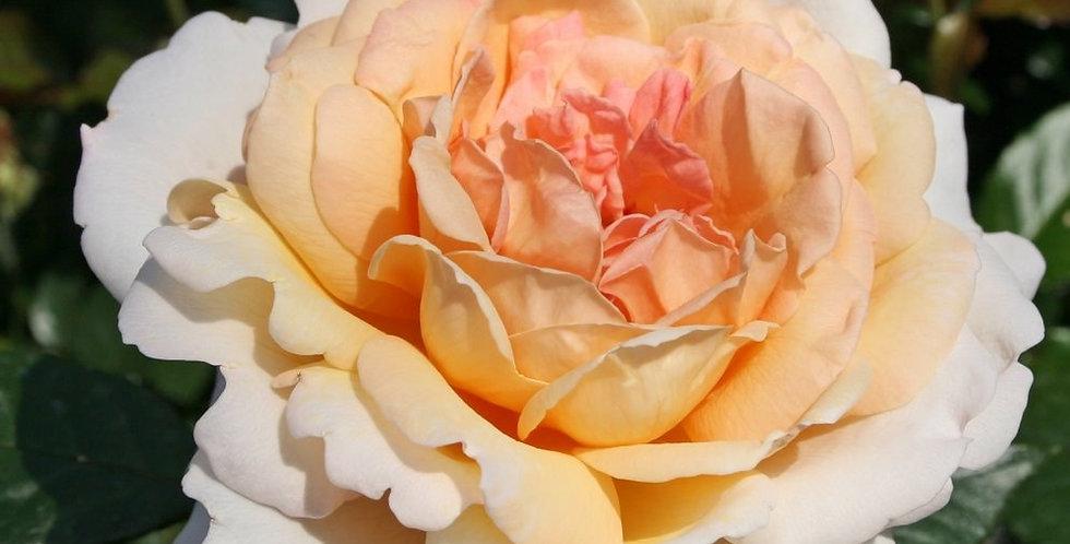 Grande Duchesse Louise rosier buisson