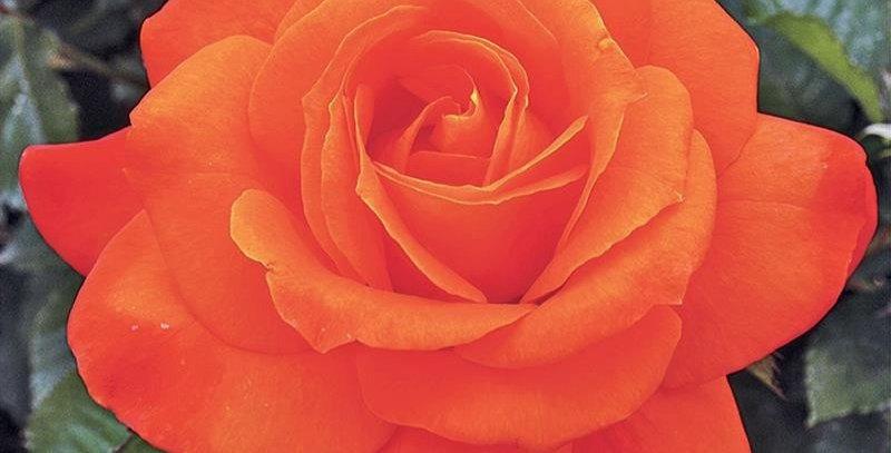 Super Trouper rosier buisson