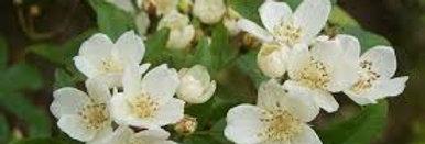 Rosa Banksiae Normalis