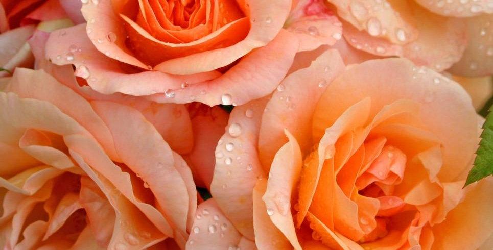 Aprikola rosier buisson