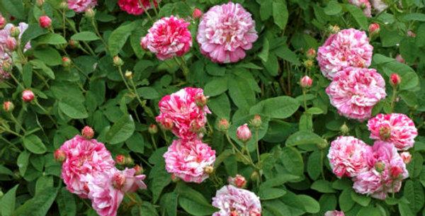 Gros Provins Panaché rosier ancien