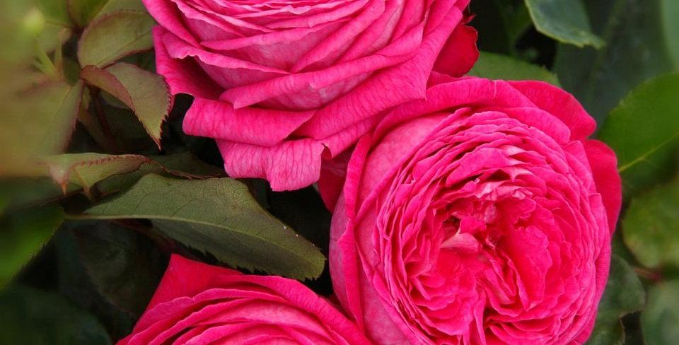 Baronne Caroline rosier buisson