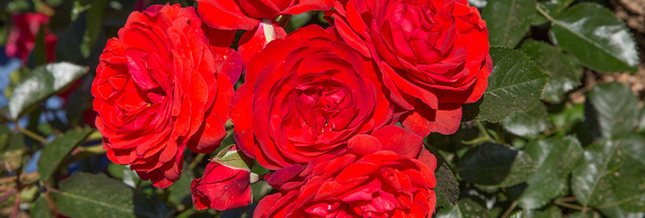 Scarlet Bonica rosier paysager