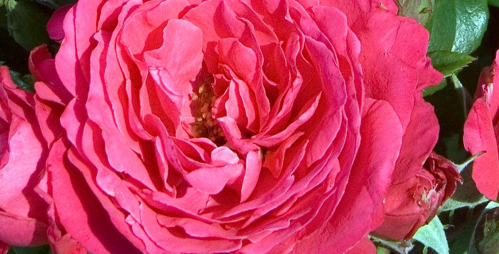 Akaroa rosier buisson