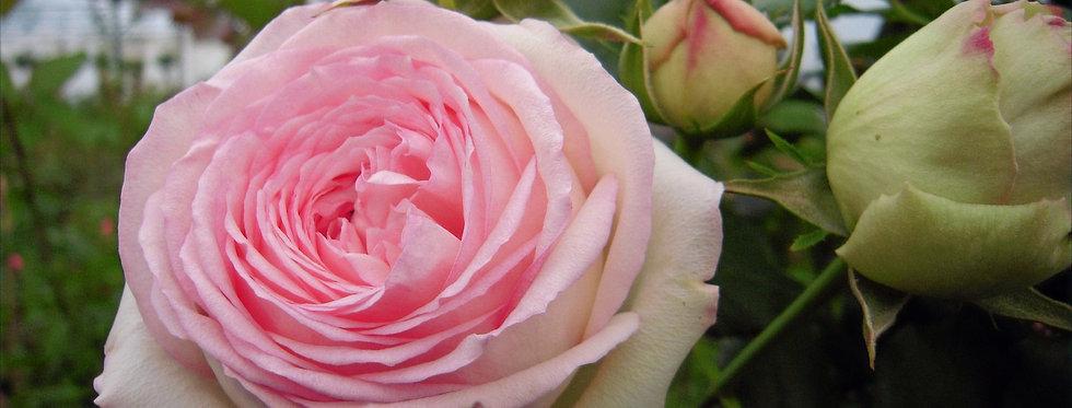 Pierre de Ronsard rosier tige