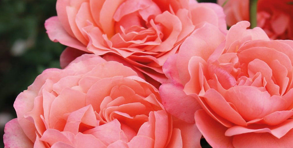 Coral Lions-Rose rosier buisson