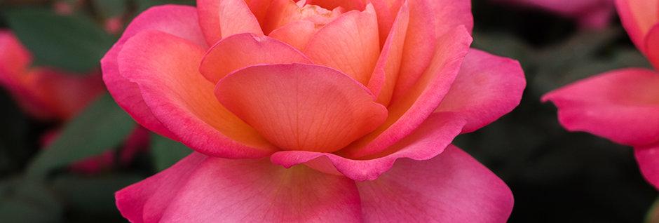 Jazz Festival rosier buisson