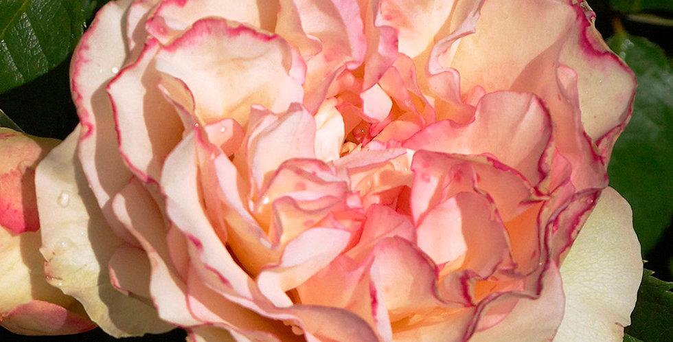 Perfume Kisses rosier mini-tige