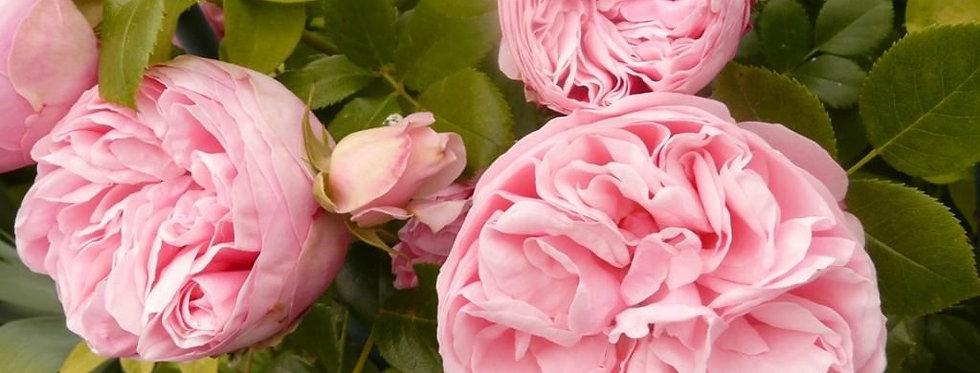 L'Alhambra rosier grimpant